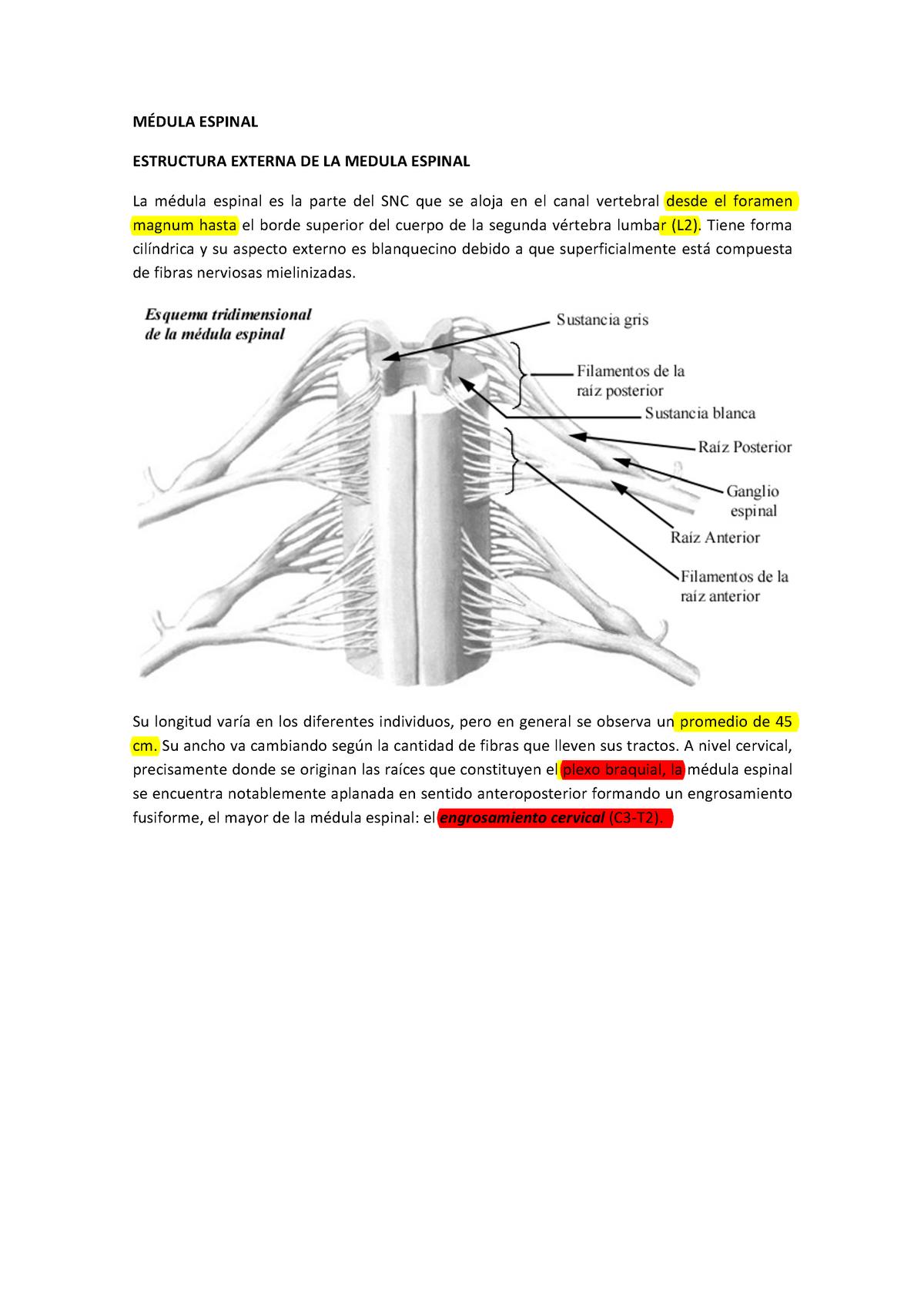 Guia Medula Espinal Morfología General Men101a Uc