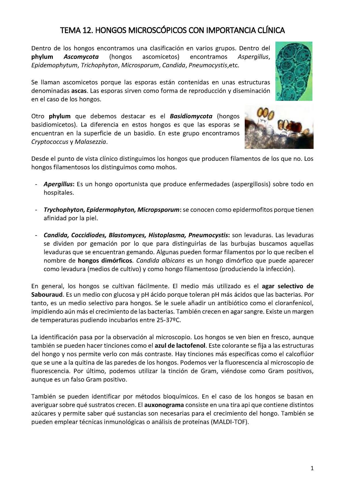 Tema 12 Hongos Microscópicos Con Importancia Clínica Studocu