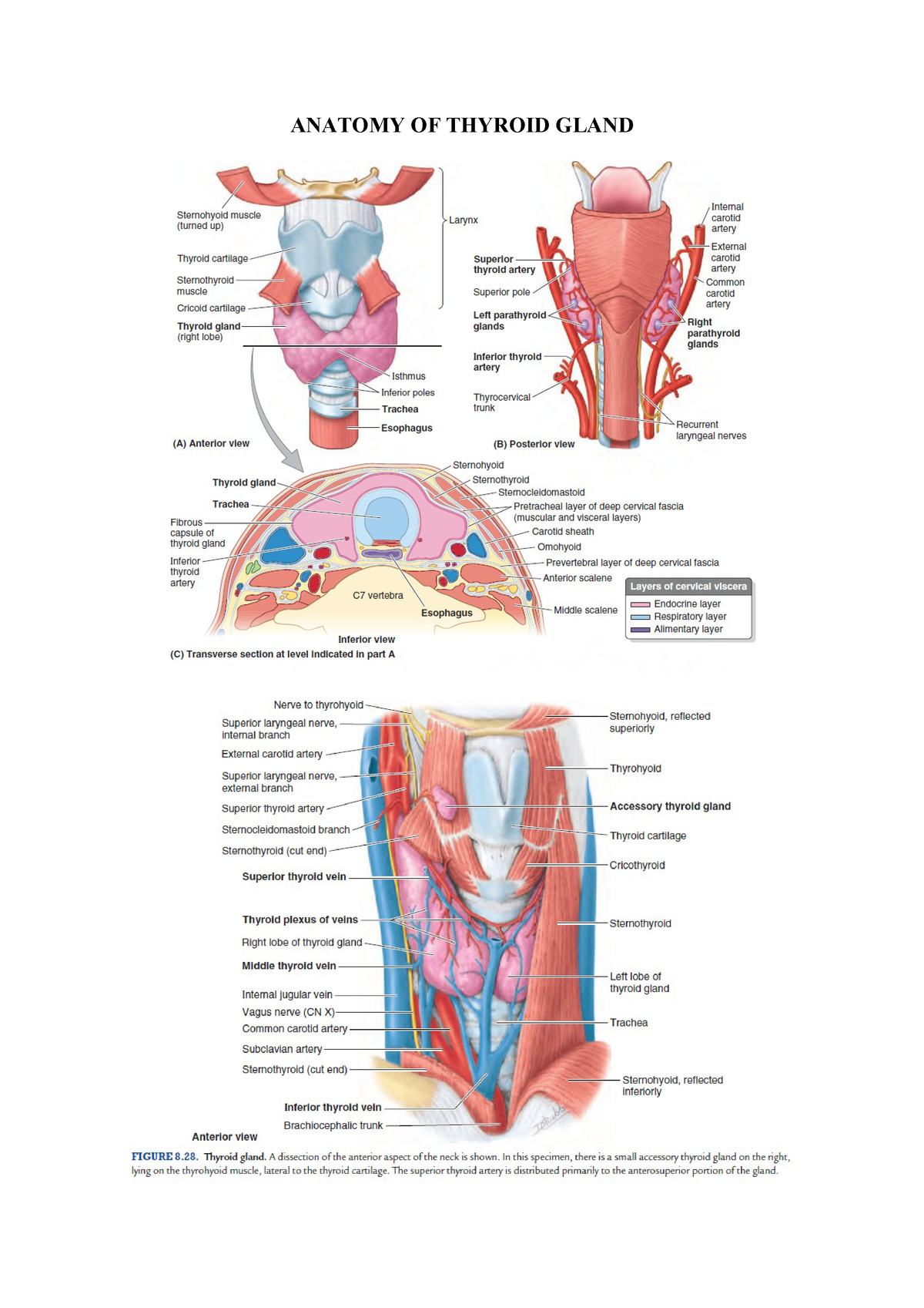 Anatomy Of Thyroid Gland Medicine Kedokteran Unpad Studocu