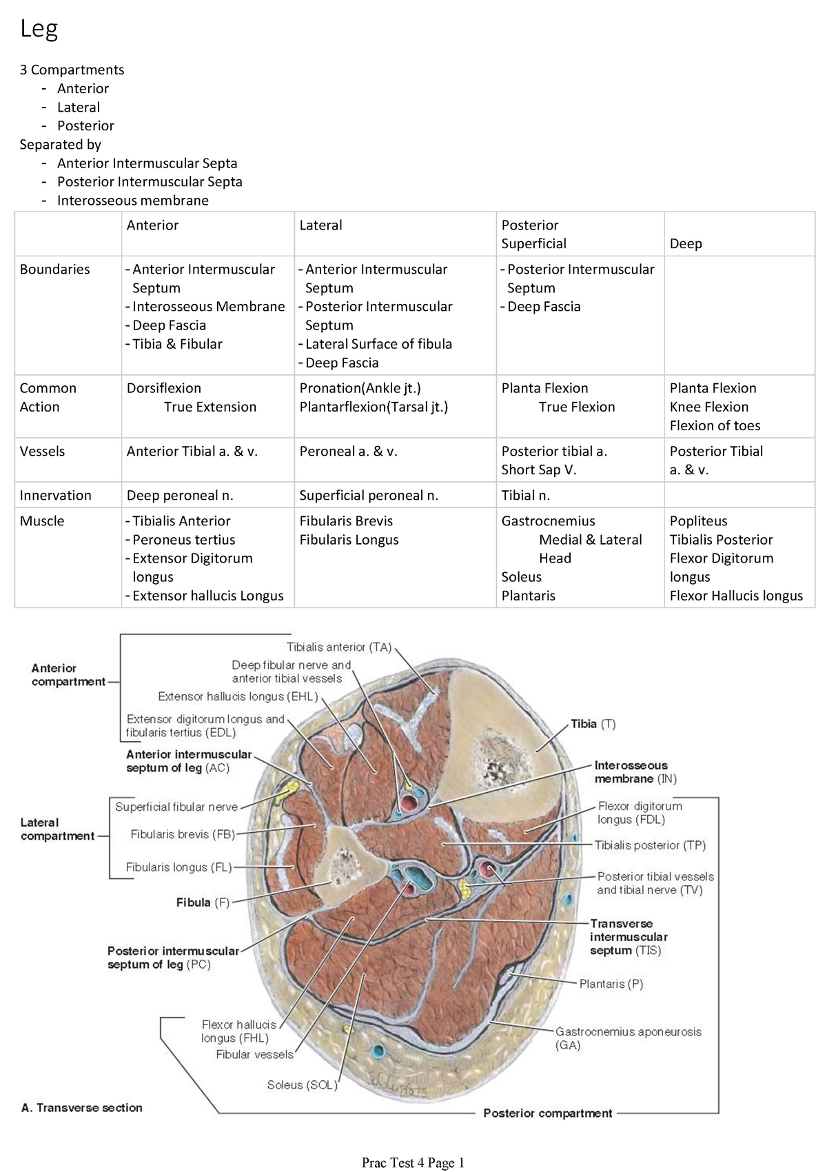 Prac Test 4 Leg - Summary of muscles - HBHS: Bachelor of