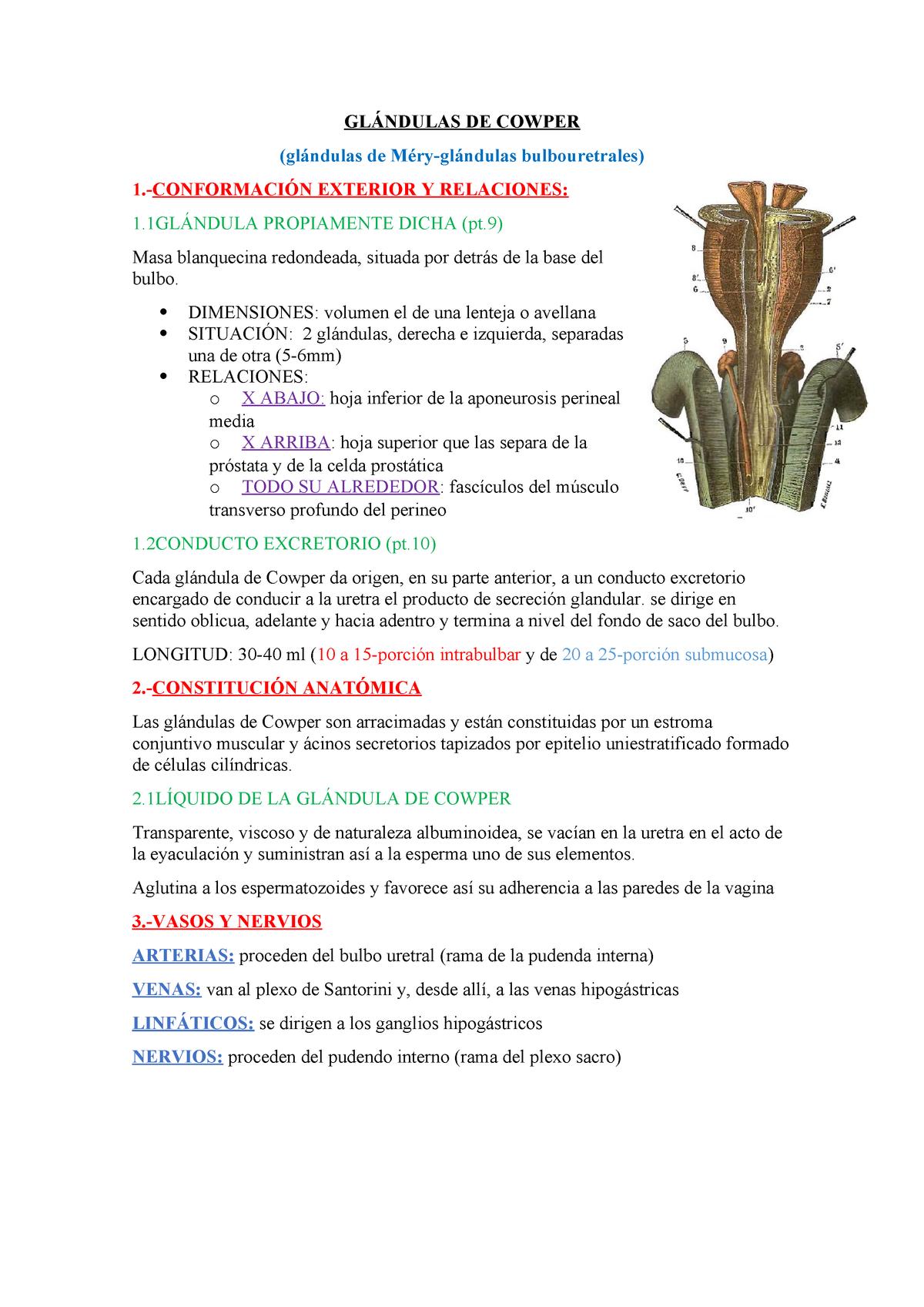 próstata homóloga a glándulas bulbouretrales