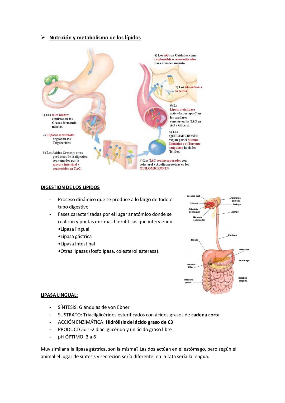 Nutricion Digestión Absorción Y Metabolismo De Lipidos