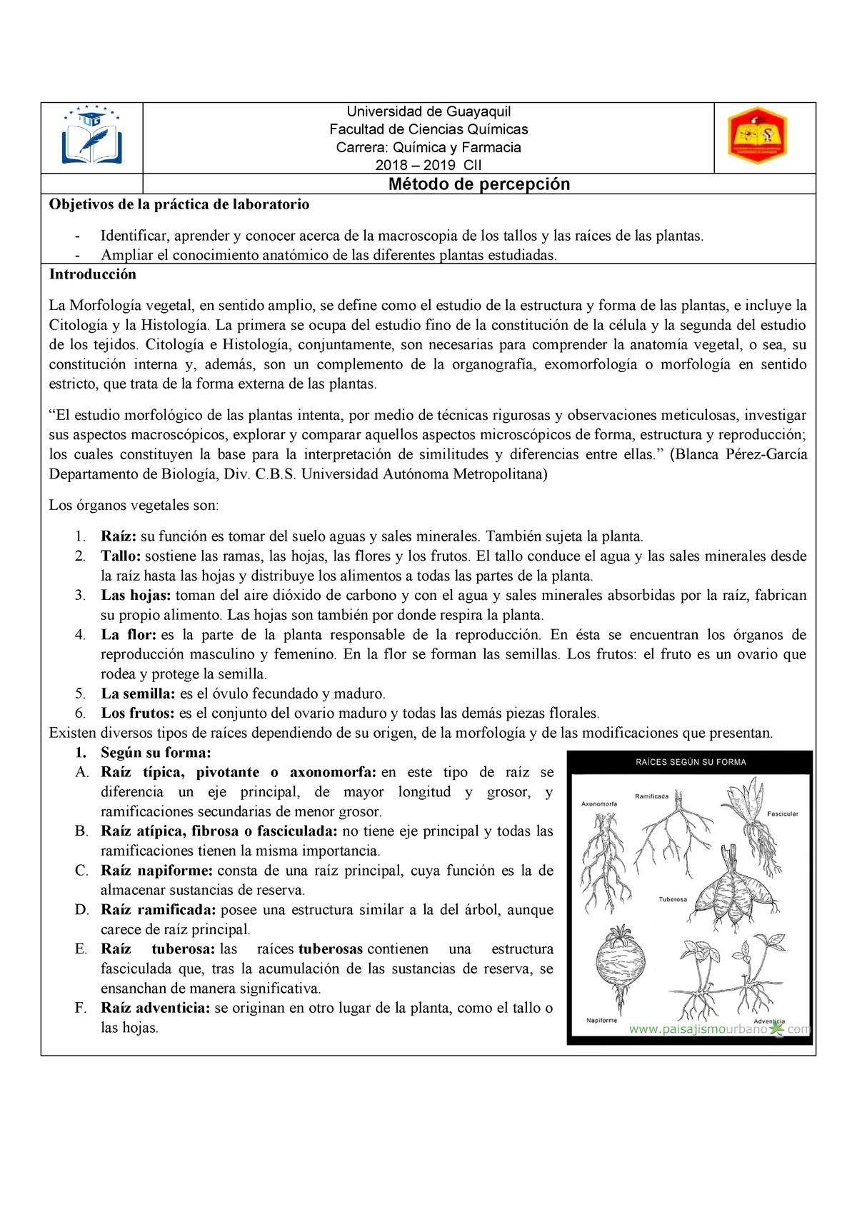 Informe Raiz Y Tallos Botanica Sistematica I Ug Studocu