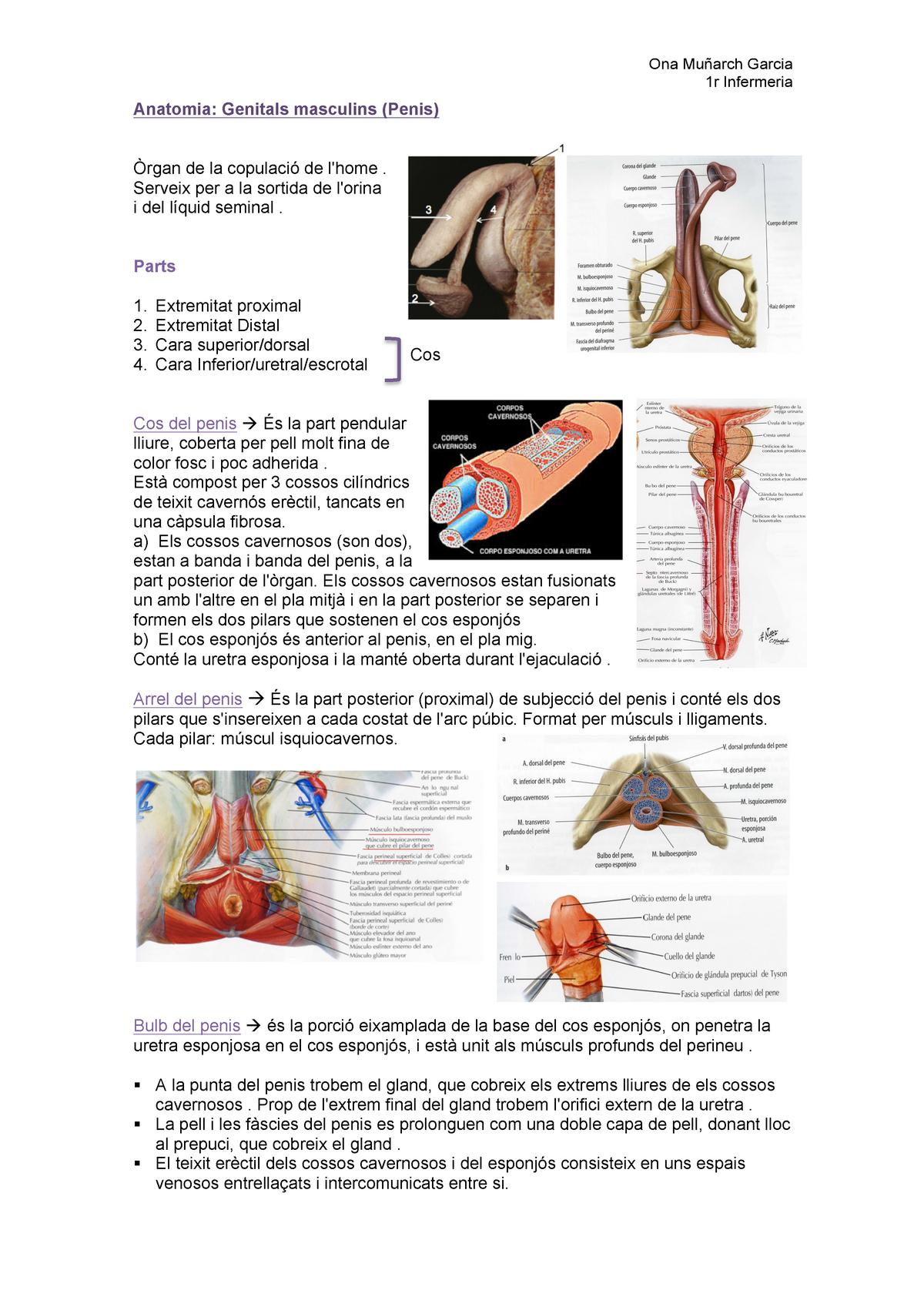 care este penisul muschinei erecție frecventă și prelungită