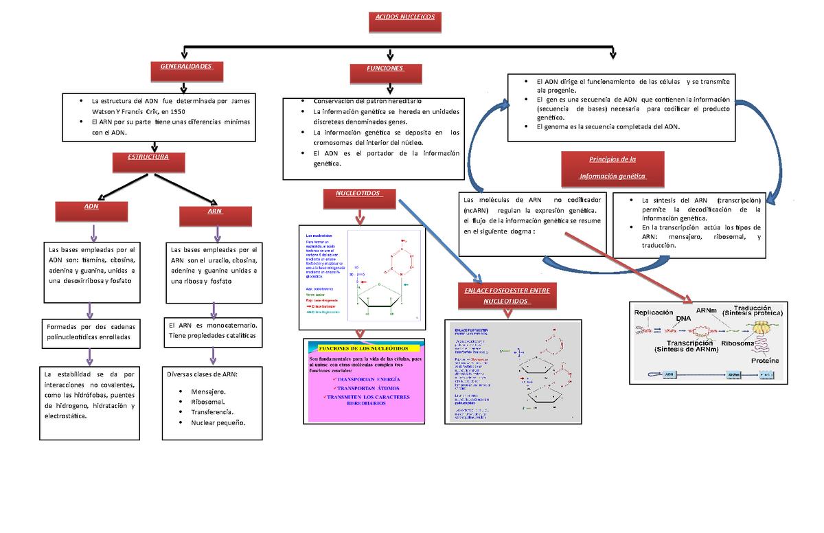 Mapa Conceptual De Acidos Nucleicos Genética Uaslp Studocu