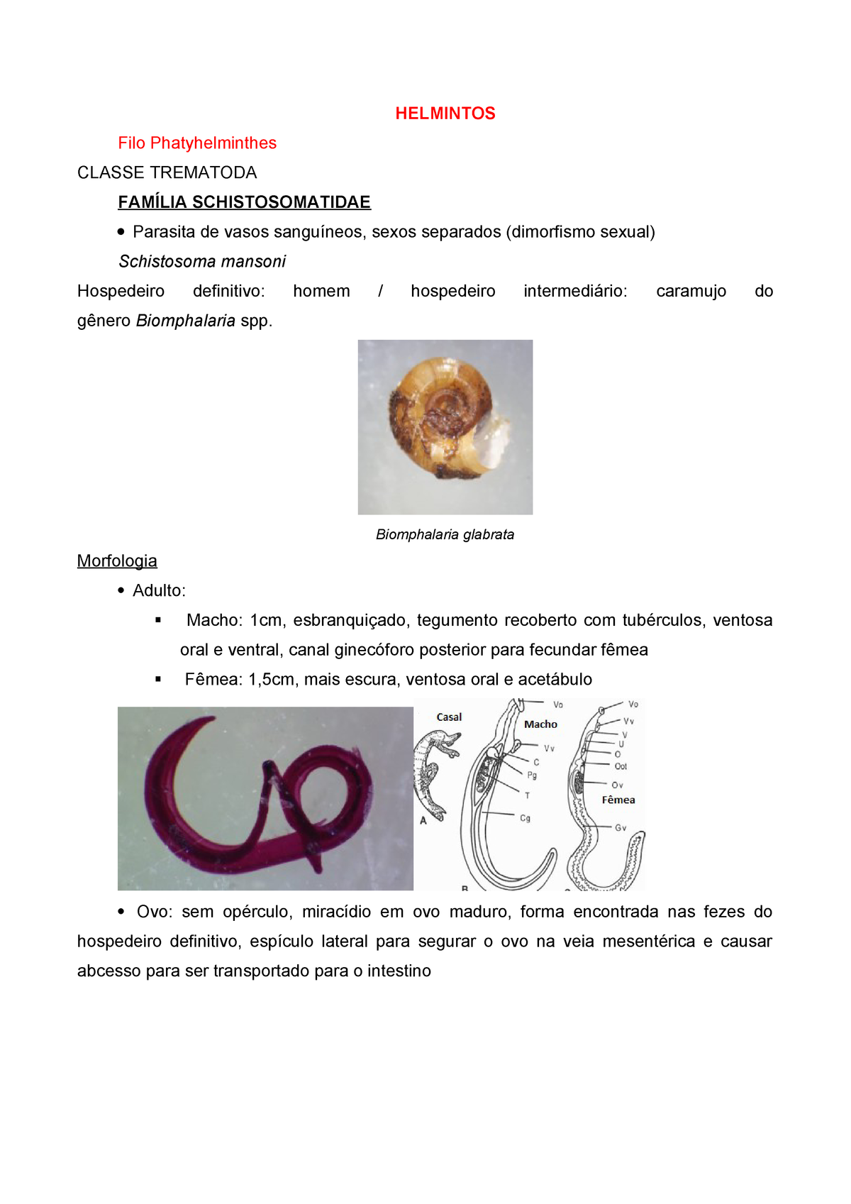 enterobius vermicularis hospedeiro definitivo)