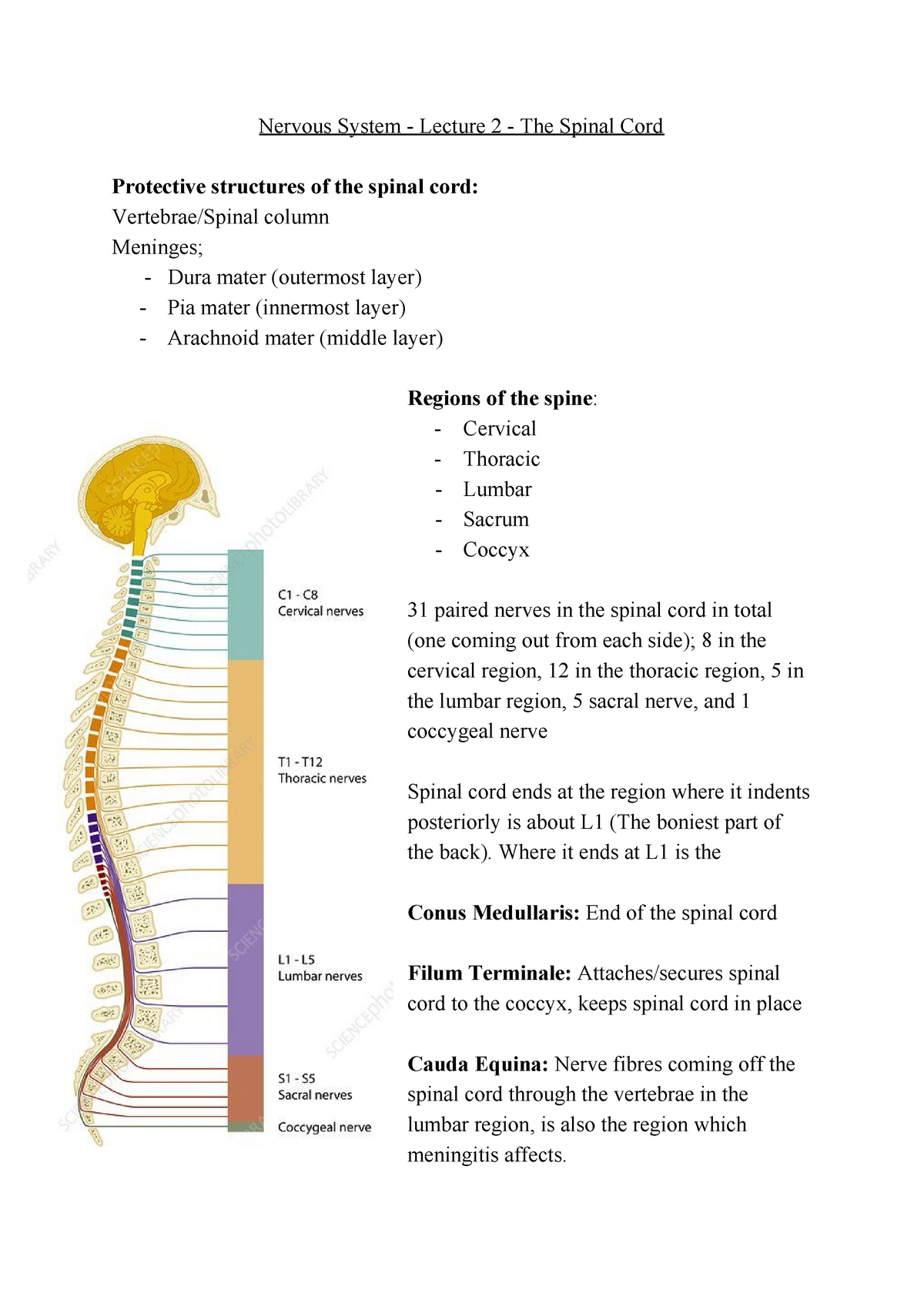 Nervous System Lecture 2 The Spinal Cord Studocu Meaning of filum terminale medical term. nervous system lecture 2 the spinal
