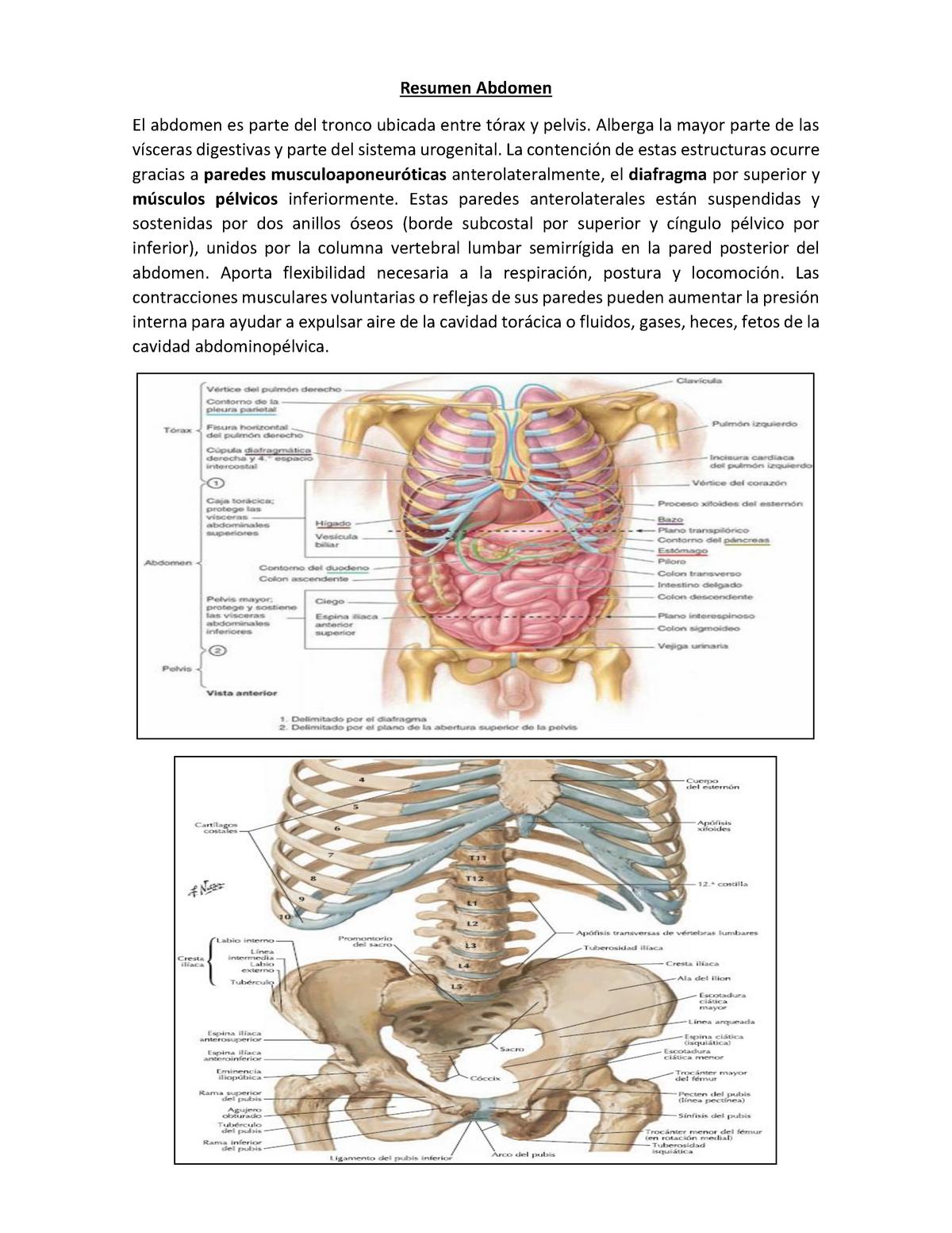tendones en el área pélvica