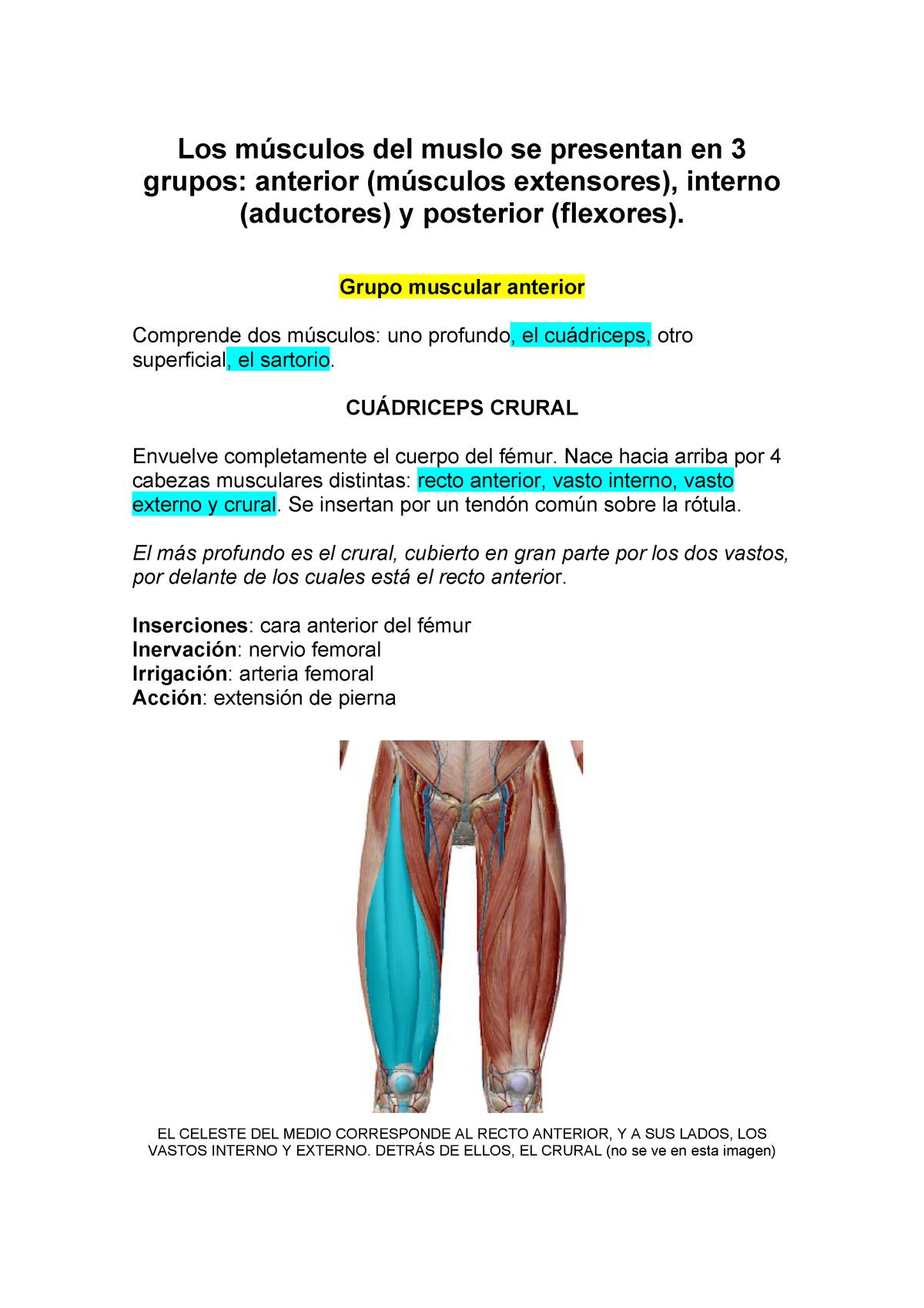 musculos del muslo grupo anterior