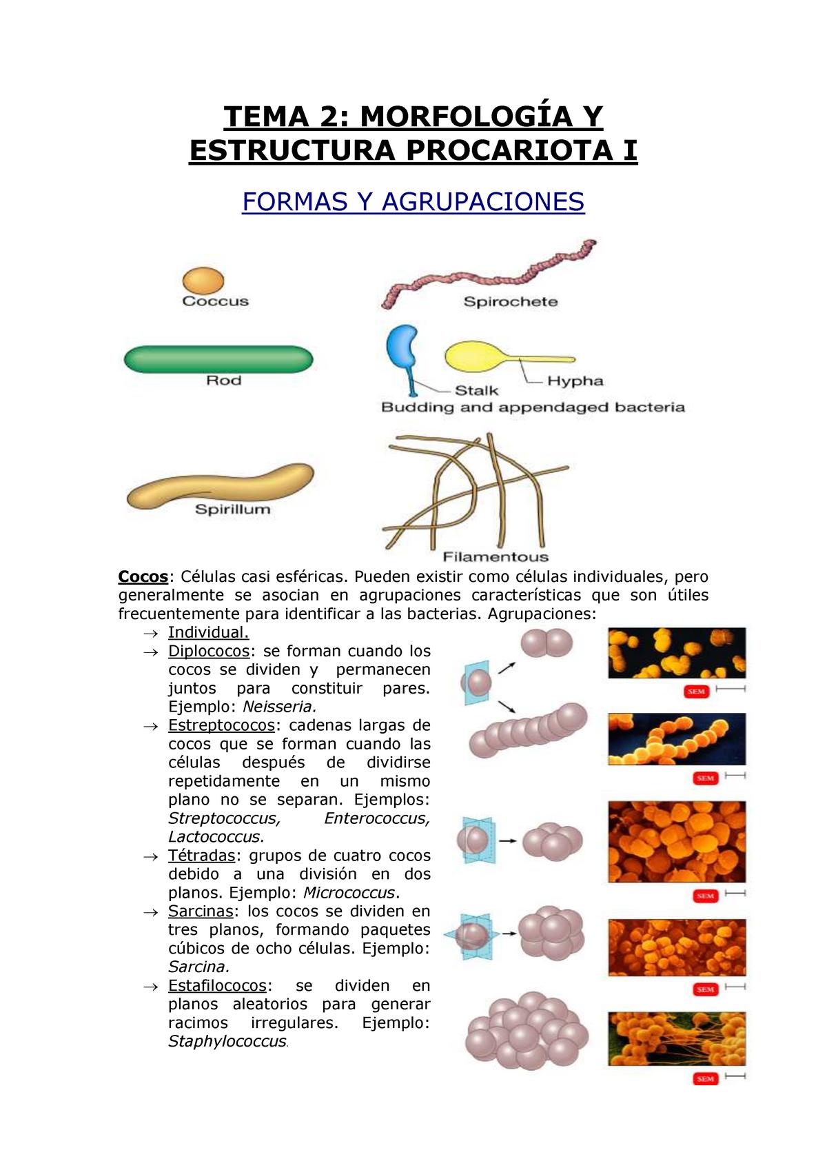 Tema 02 Morfología Y Estructura Procariota I Ucm Studocu