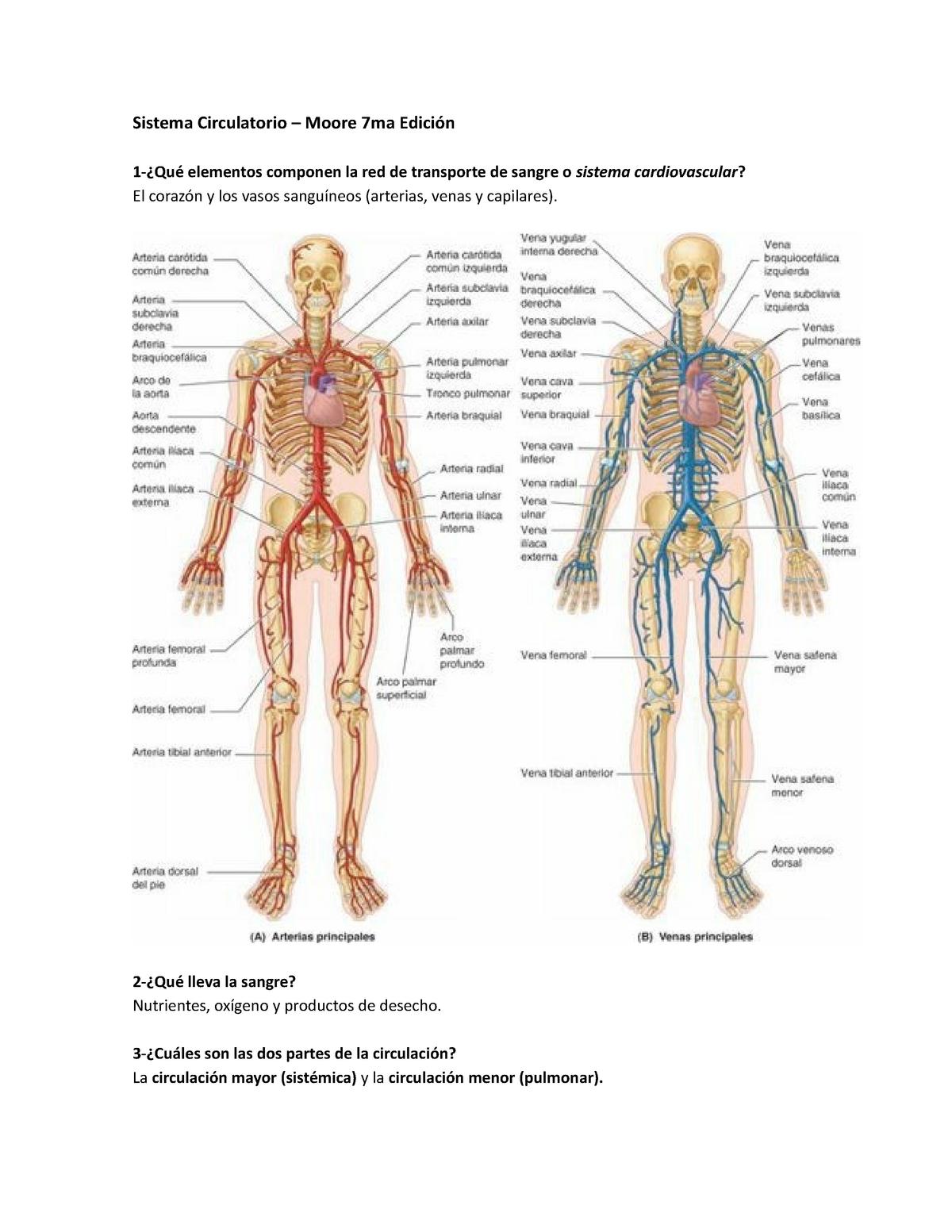 que son arterias venas y capilares
