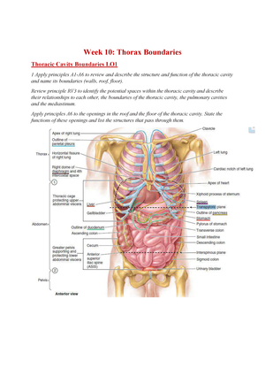 Thoracic cavity boundaries in dating