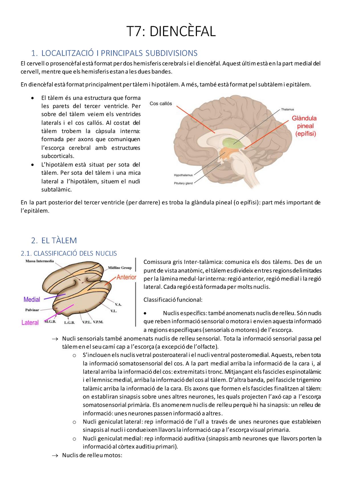 T7 Diencèfal Fonaments De Psicobiologia Ii Neuroanatomia