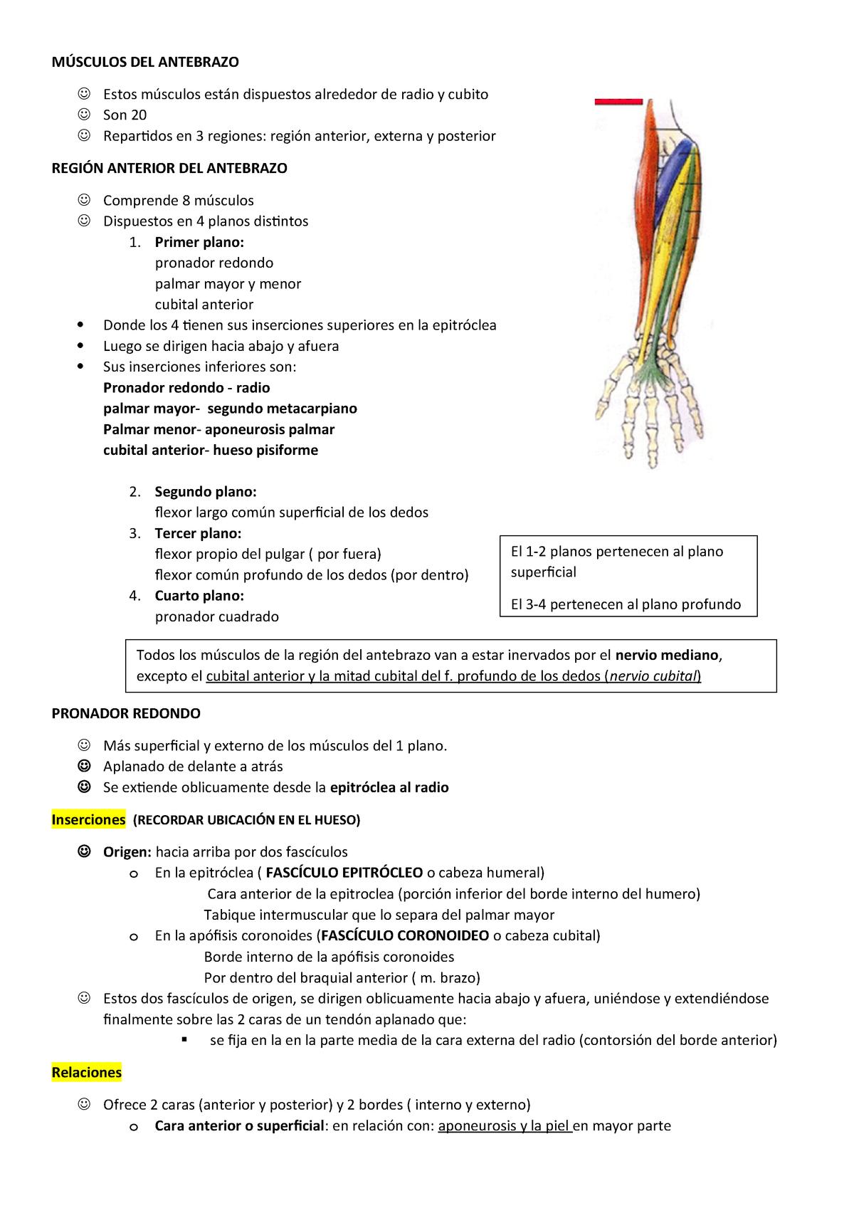 Músculos Del Antebrazo Anatomia I Studocu