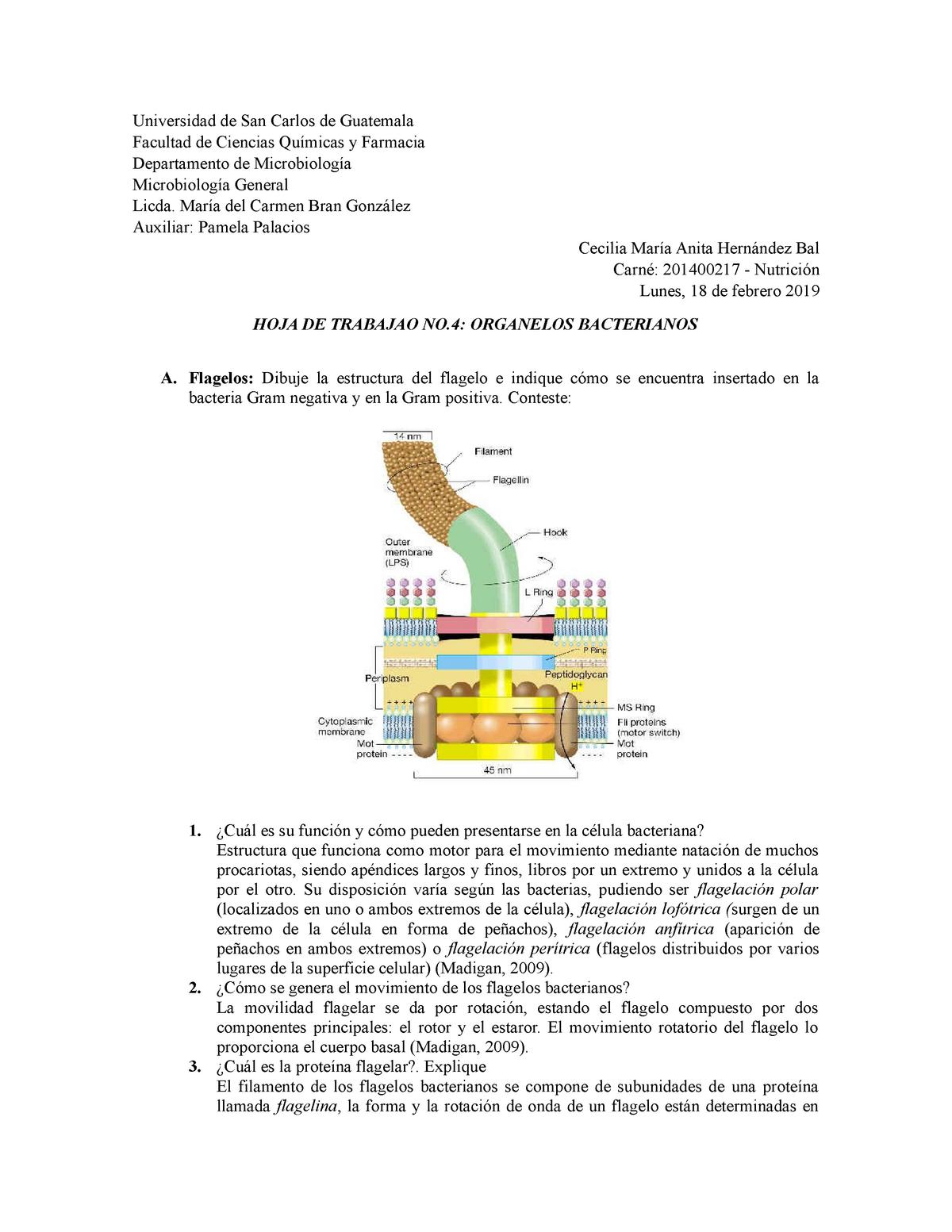 Hoja De Trabajo No 4 Organelos Bacterianos 055221 Usac