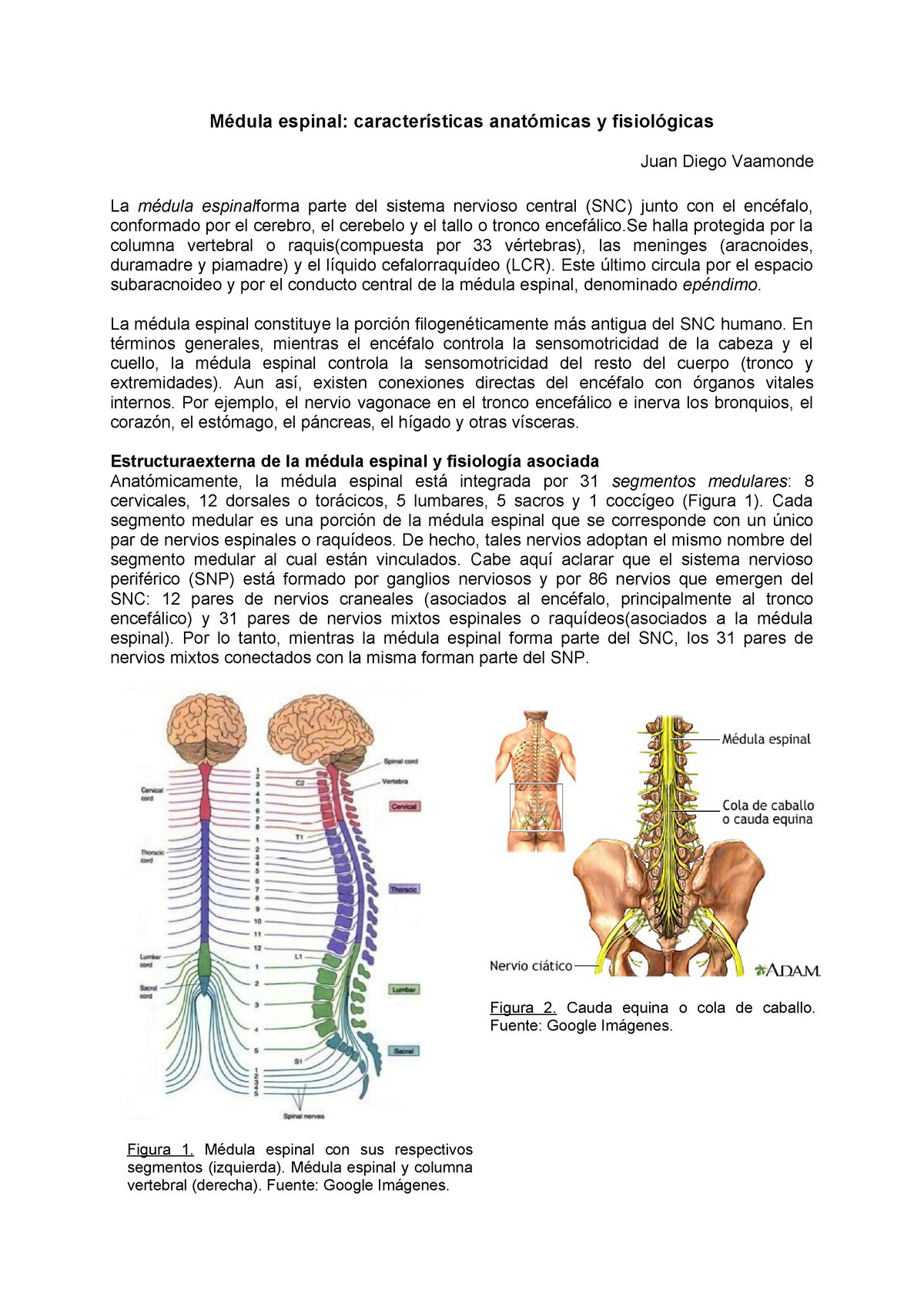 Médula Espinal Summary Anatomía Humana Unr Studocu